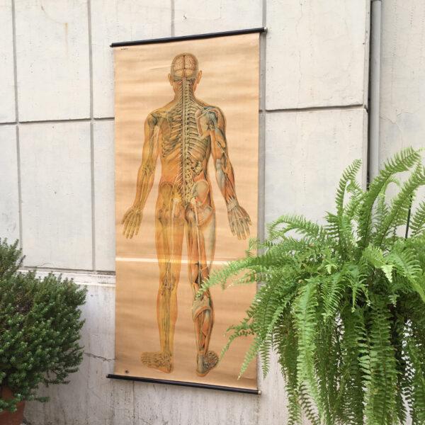 poster anatomico vintage anni '50 tedesco